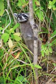 #Manuel Antonio_Begging raccoon