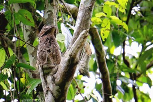 #Manuel Antonio_Common Potoo