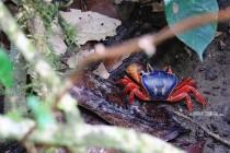 #Manuel Antonio_Halloween crab