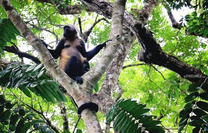 #Manuel Antonio_Howler mama to-be