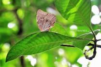 #Manuel Antonio_Morpho butterfly