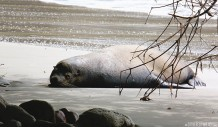 #Manuel Antonio_Sloppy sea lion