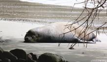 #Manuel Antonio_Sloppy sea lion