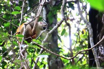 #Manuel Antonio_Squirrel monkey1