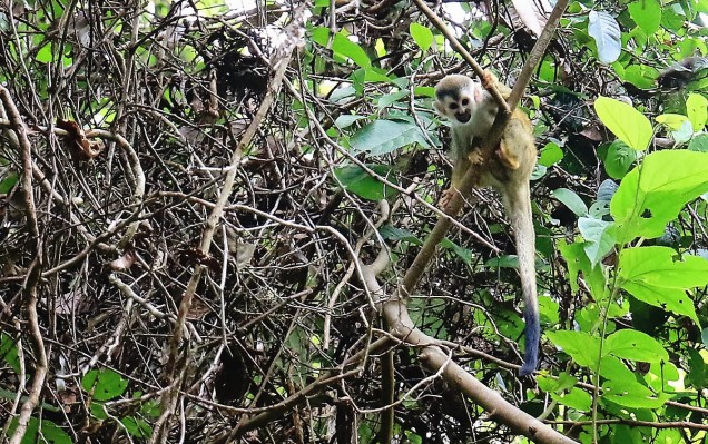 #Manuel Antonio_Squirrel monkey2