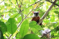 #Manuel Antonio_Variegated Squirrel