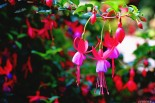 #Ballard Locks_Fuchsia magellanicas
