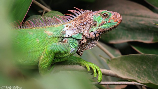 #Bahia Drake_Green iguana