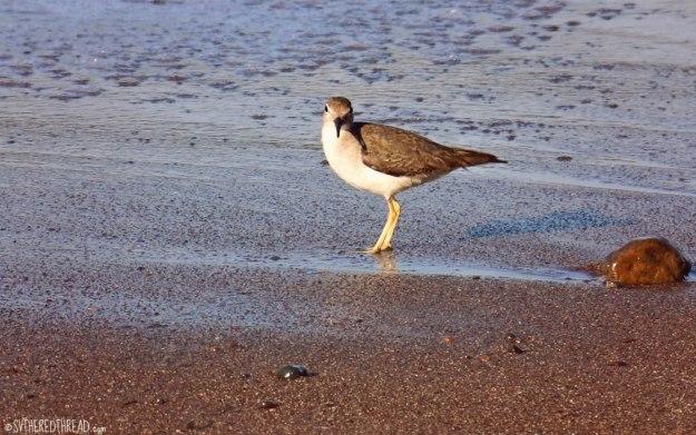 #Bahia Drake_Lovely little sea bird1