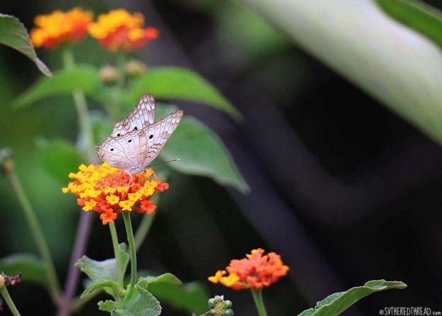 #Bahia Drake_White morpho butterfly1