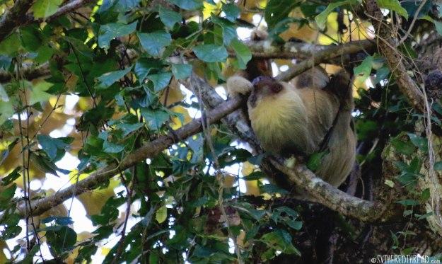 #Manuel Antonio_2-toed sloth