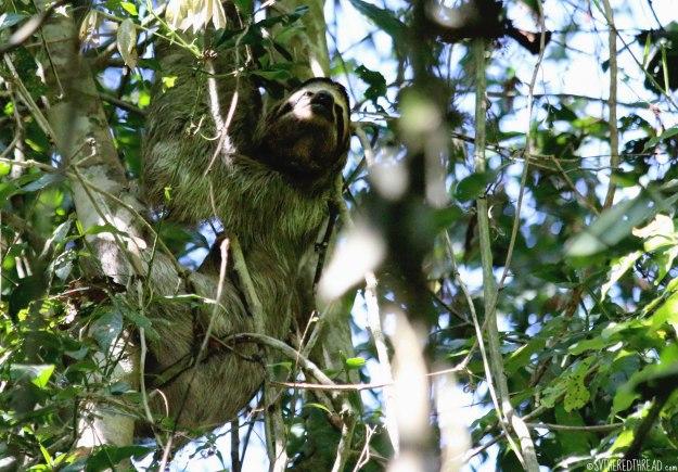 #Manuel Antonio_3-toed sloth