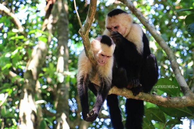 #Manuel Antonio_Capuchin cubs