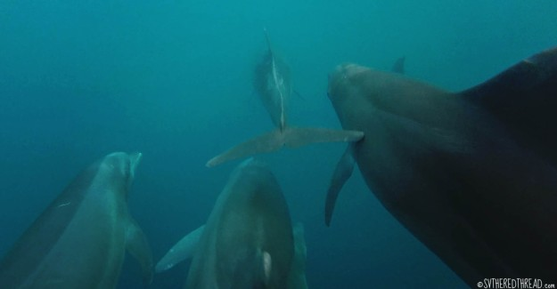 #Passage_Dominicalita's dolphins