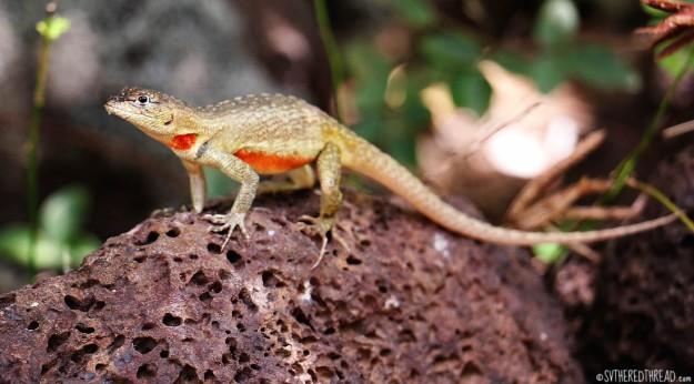 #San Cristoba_Lava lizard