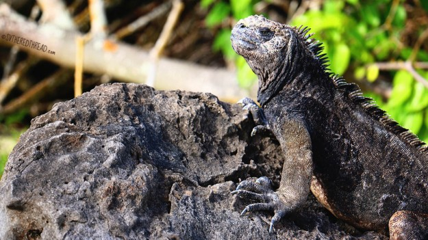 #San Cristobal_Playa Loberia_Marine iguana1