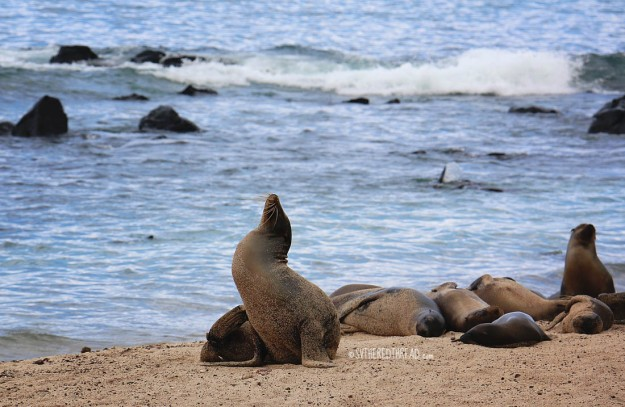 #San Cristobal_Sea lions1