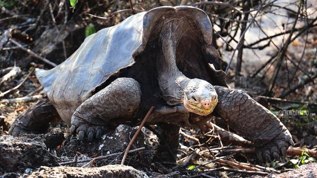 #Isla Santa Cruz_Charles Darwin Center_Tortoise1