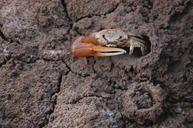 #Isla Santa Cruz_Fiddler crab