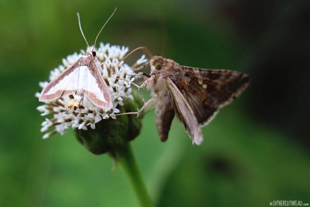 #Isla Santa Cruz_Highland butterflies