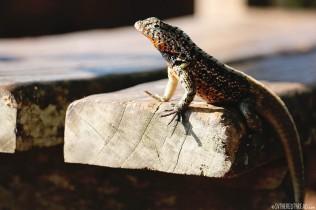 #Isla Santa Cruz_Lava lizard