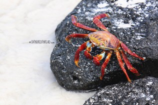#Isla Santa Cruz_Playa Brava_Sally Lightfoot crab