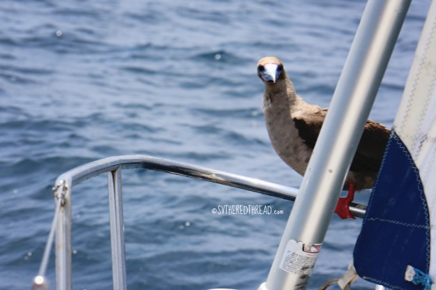 #Passage to Galapagos_Hitchhiker red-footed booby