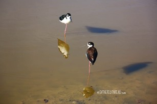 #Isla Isabela_A pair of black-necked stilts
