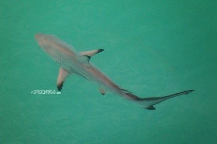 #Isla Isabela_Black tip circles the boat!