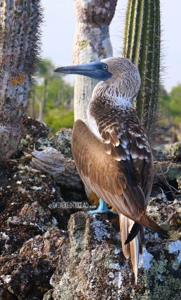 #Isla Isabela_Los Tunneles_Blue-footed boobie2