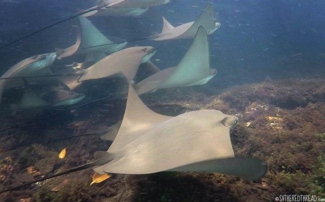 #Isla Isabela_Los Tunneles_Cownose rays1