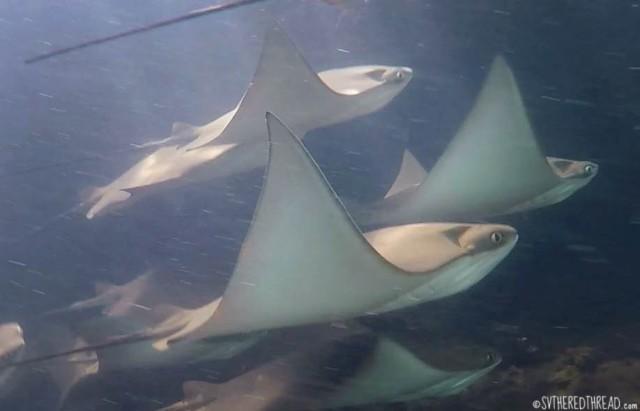 #Isla Isabela_Los Tunneles_Cownose rays2