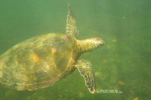 #Isla Isabela_Los Tunneles_Galapagos green turtle1
