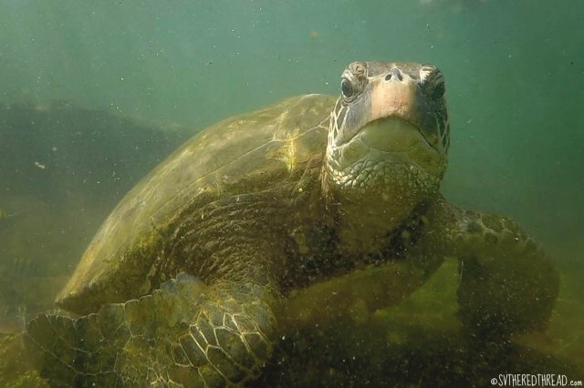 #Isla Isabela_Los Tunneles_Galapagos green turtle2