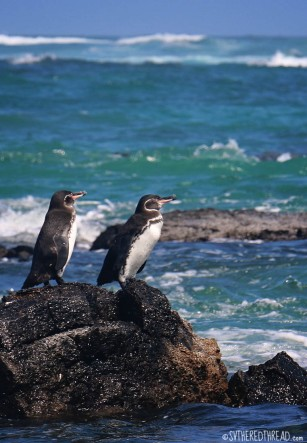 #Isla Isabela_Los Tunneles_Pair of penguins