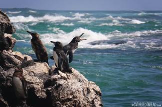 #Isla Isabela_Los Tunneles_Penguin chat