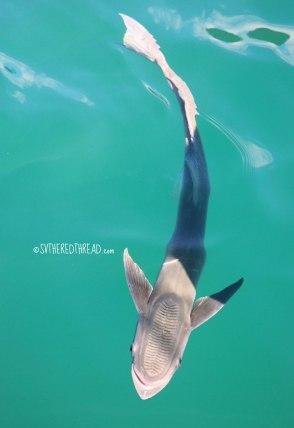 gambiers_fido-the-sharksucker