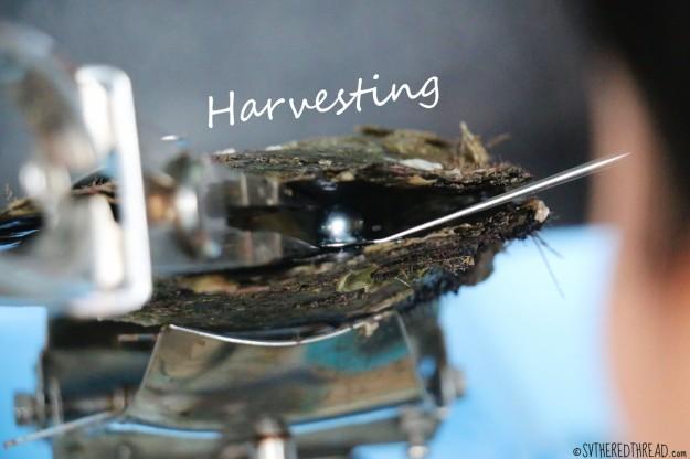 gambiers_maroi-pearl-farm_harvesting