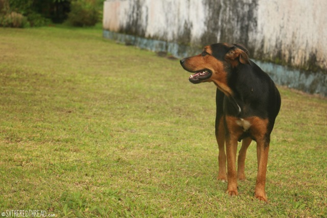 taravai-gambiers_pooch-w-the-phantom-pregnancy