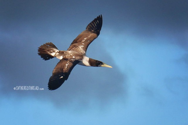 gambiers-to-australs_masked-booby-juvenile1
