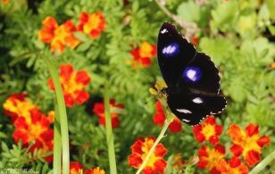 raivavae_blue-moon-butterfly