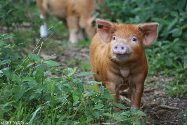 raivavae_cutest-piglet-on-earth