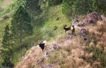#Raivavae_Mount Hiro_Goat tribe