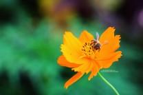 #Moorea_Honeybee