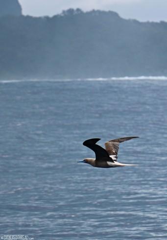 #Passage to Raiatea_Red-footed booby2