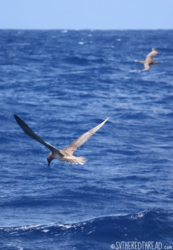 #Passage to Niue_Brown booby fishing