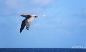 #Passage to Niue_Brown booby in flight