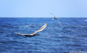 #Passage to Niue_Brown booby soars