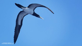 #Passage to Niue_Brown booby