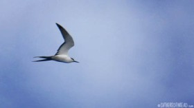 #Passage to Niue_Sooty tern